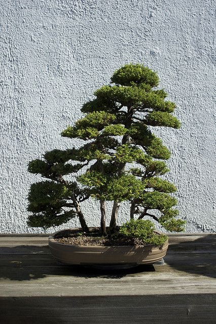 Bonsai Tree 1