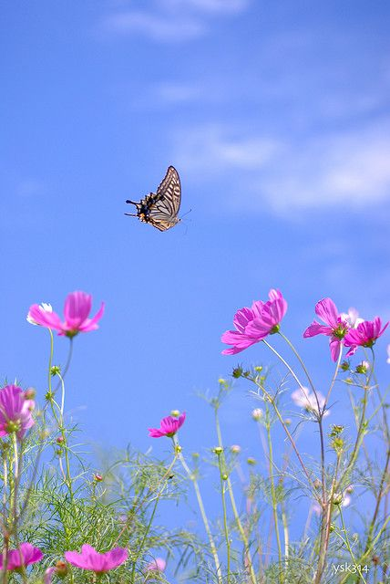 Butterfly & Pink Cosmos