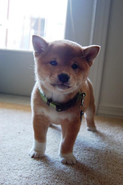 His name is mango. #dog #animal #shiba #inu