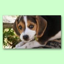 Beagle Baby Dog business cards