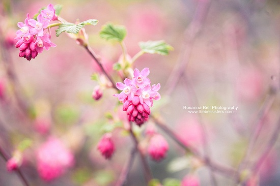 A pink color
