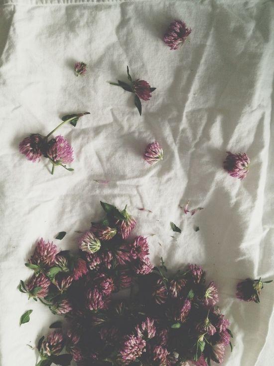 Healing red clover
