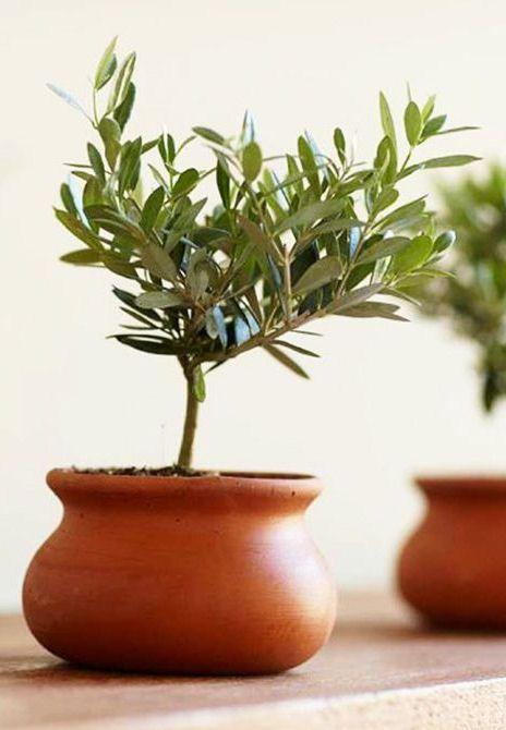 Olive Tree in Terracotta Pot ?