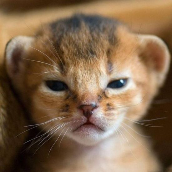 A very serious Abyssinian kitten