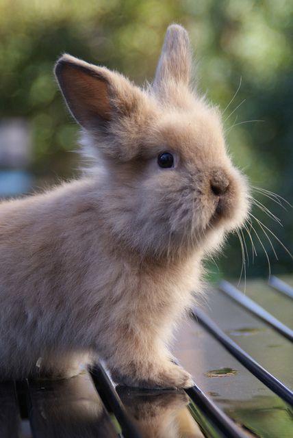 baby lionhead rabbit...
