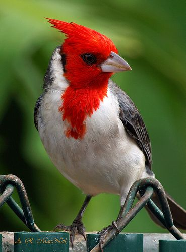 Red-crested Cardinal, Maui, Hawaii ? ? www.paintingyouwi...