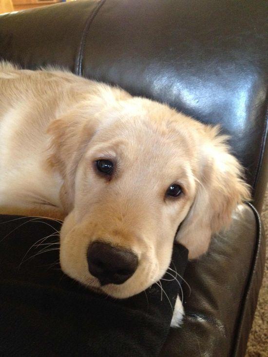 Golden puppy love
