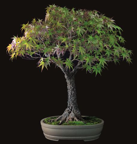from Fine Bonsai: Art and Nature