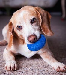 Adoptable Fridays: Meet Eddie! Eddie is an adoptable Beagle Dog in Asheville, NC. Eddie is a very small, older beagle who is completely adorable. He's still full of energy and is very good with kids and other dogs. Find out more about Eddie here! #fcpets #dogs #pets #animals #fcadoptablefriadys