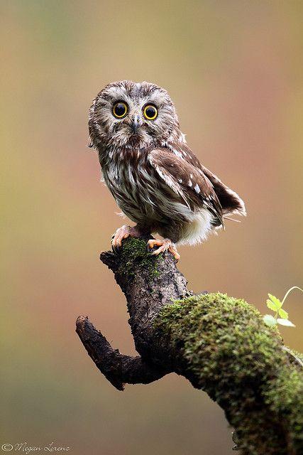 ~ Owl ~