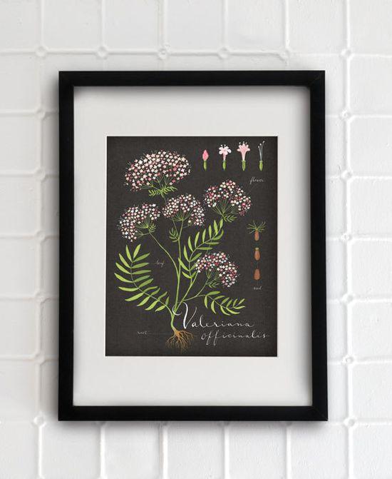 Valerian print 8.5x11  Botanical collection  flower by evajuliet, $29.00