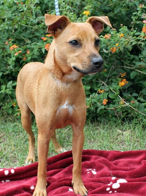 Charlie is a 10-month-old male Feist/Terrier mix who has already been neutered.  He is brown with just a little bit of white markings on his chest and on his tail.  Charlie also has a black muzzle.  He weighs 21 pounds so he probably will not get...