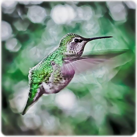 Hummingbird, this morning
