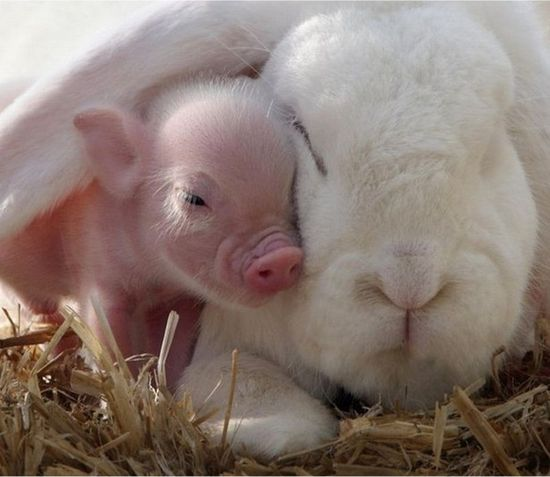 This piglet and this bunny cuddling. this whole article is wonderfully cute