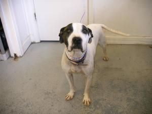 Sally is an adoptable Pit Bull Terrier Dog in Emporia, VA. ...