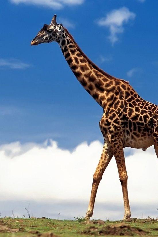 Giraffe Walking iPhone Wallpaper