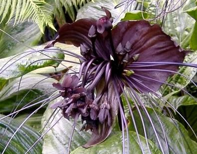 """Black Bat Flower (Tacca chantrieri): One of the few black flowers, Tacca chantrieri  is native to Yunnan Province, China where it can grow to 12"""" in diameter. #Flowers #Black_Bat_Flower"""