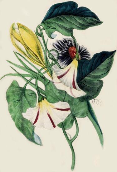 Crocus china aster morning glory, 1853. #Victorian #vintage #botanical #drawings #illustrations