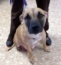 Rachel: Female Pit Bull Terrier, 1 year old. For more information please visit wishbonecanineres...