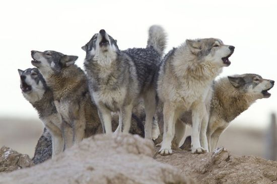 The Wild Animal Sanctuary - Keenesburg, Colorado Rescued wolf pack howling