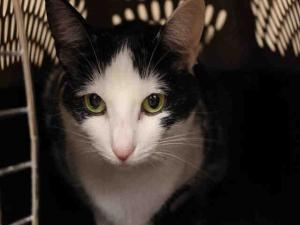 SNOW WHITE is an adoptable Domestic Short Hair Cat in Fort Wayne, IN.  ...