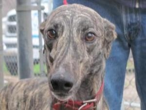 Catching A Star is an #adoptable #Greyhound #Dog in #Mendota, #ILLINOIS. Catching_a_Star-big.jpgFor more information on all the greyhounds available for adoption, go to www.regapgreyhoun....
