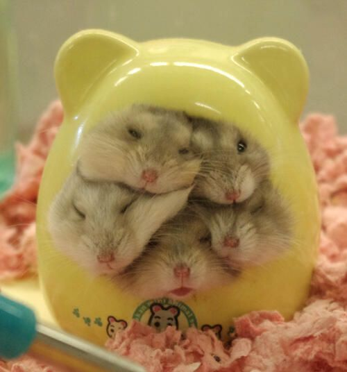 It's a little family of hamsters... - Imgur