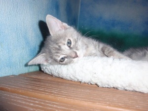 Pocano is an adoptable Domestic Short Hair - Gray And White Cat in Altoona, PA.  ...
