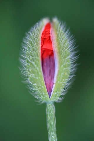 poppy in bud