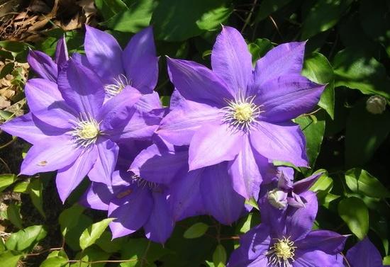 Clematis (my garden)
