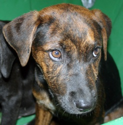 Kelsey is an adoptable Mountain Cur Dog in Mechanicsburg, PA. Kelsey is a seven-week-old, brindled cur mix. Kelsey was pulled from a high-kill NC Shelter where she and her brother, Cooler, were schedu...