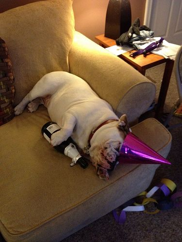 Party's Over #englishbulldog #breed #english #bulldogs #best #dogs #pets #animals #bulldog #cute #pooch #canine #bully #party #funny