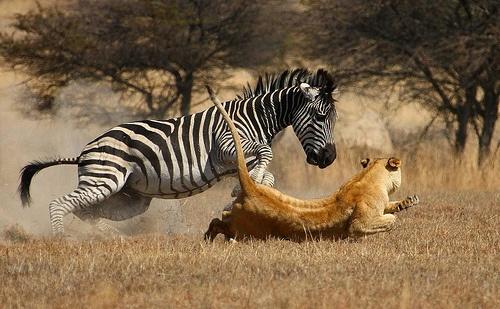 the hunt #lion #zebra #wild #nature #safari-partners on Flickr