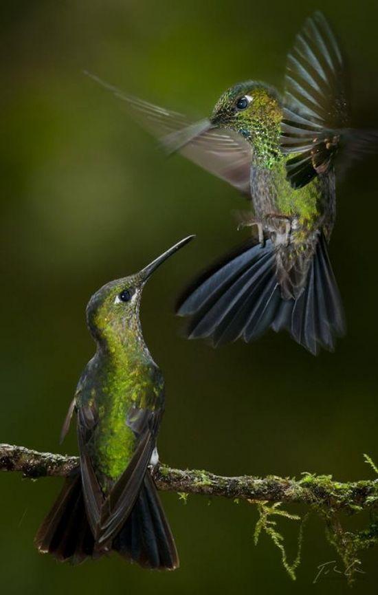 Pretty Green Hummingbirds