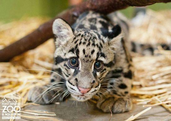 Cute baby leopard.
