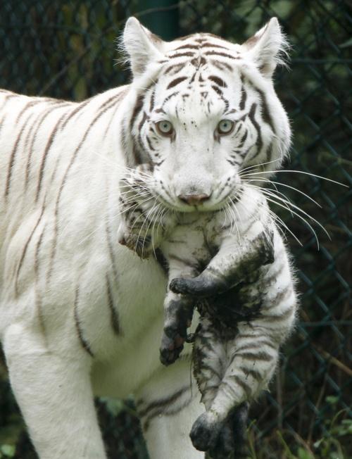 White Tiger  #wild #animals