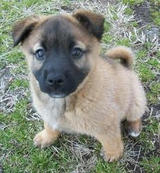 Coco is an adoptable Shepherd Dog in Youngsville, NC. Hi! My name is Coco and I am a baby shepherd mix. I was found stray with my brother so a nice FCHS volunteer saved us. My foster mom says I have a...