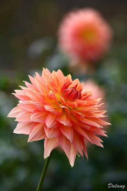 Peach Dahlia