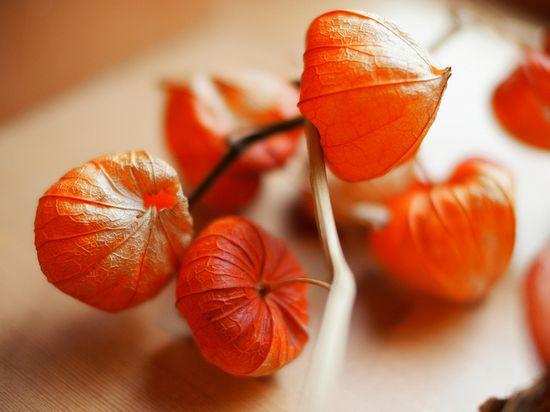 h?zuki, Japanese lantern plants (Ground Cherry)