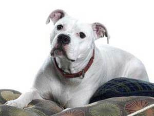 Tomahawk is an adoptable American Bulldog Dog in Saint Louis, MO.  American Bull Dog:    Tommy is a great dog.    He is always happy and wants to please you....  ...