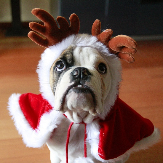 I promise to be extra, extra good all year if this incredibly cute bulldog Santa wants to come slide down my chimney. My gift? Getting to snuggle him!!! :) #Christmas #bulldog #dogs #costume #Santa #pets #puppies #cute #animals