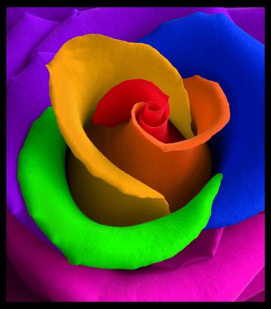 Rainbow Rose...