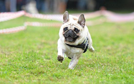 #Pugs Race