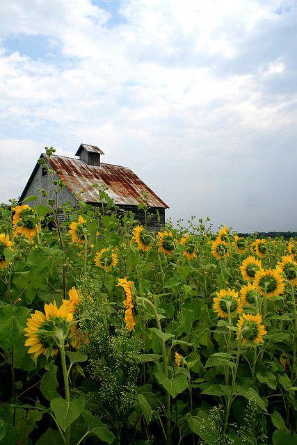 Barn & Sunflowers