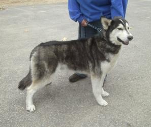 Koda is an adoptable Husky Dog in Friendship, WI. Hello my name is Koda. I came in as an owner surrender on 4/26/13. So I was adopted from another humane society when I was a young kid. My momma was r...Please click on pic for additional info on this dog?