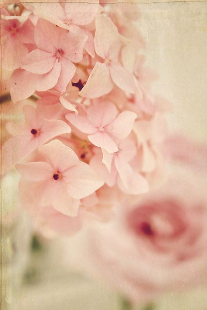 Pink soft beautiful lovely Hortencias-Hydrangea