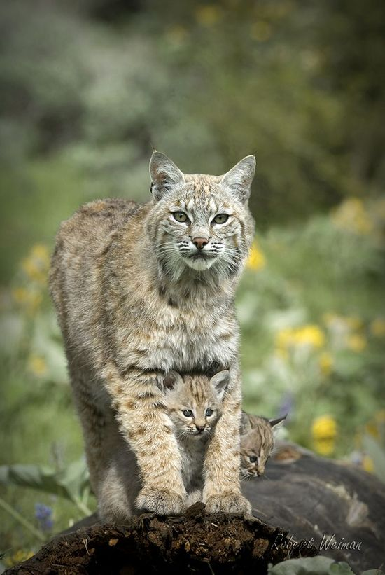 Bobcat with young...One of these is living near us!  Saw her yesterday!