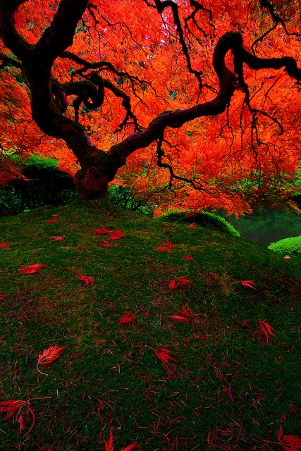 """Autumn Maple tree, Portland Japanese Garden, Oregon  """"The Tree, HDR"""" by William (tectum macula) Walsh, via Flickr"""