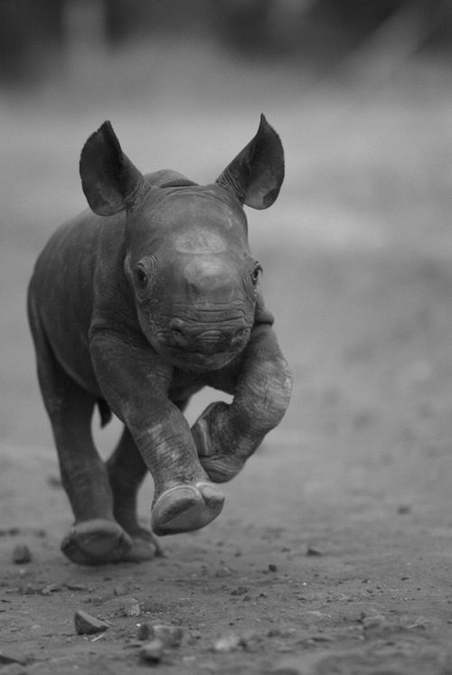 Little baby rhino running