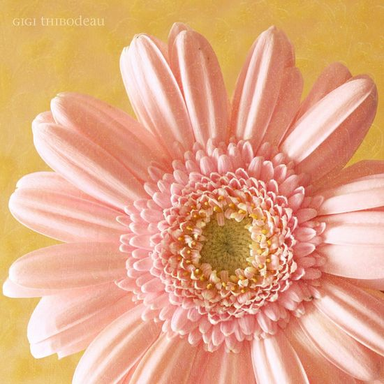 Pale Pink Gerber Daisy